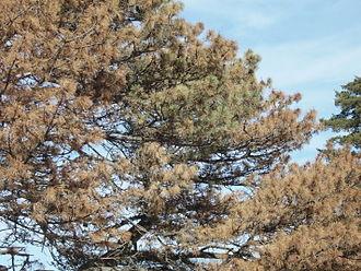 Bursaphelenchus xylophilus - Image: Austrian pine with wilt large