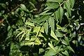 Austromyrtus dulcis 1zz.jpg
