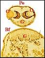 Autre vue de la glande clypéale d' Argyrodes fissifrontella.jpg