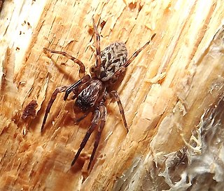 <i>Axyracrus</i> Genus of spiders