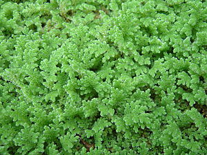 Azolla event - The modern fern Azolla filiculoides. Blooms of a related species may have pulled the Earth into the current icehouse world.