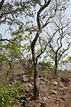 Bénin-Prosopis africana (2).jpg