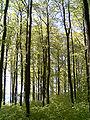 Bøkeskog2.jpg