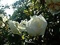 B.rosa.flower9.jpg