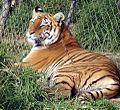 BENGOL TIGER - panoramio.jpg