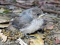 Baby Blue-gray Gnatcatcher - Flickr - GregTheBusker.jpg
