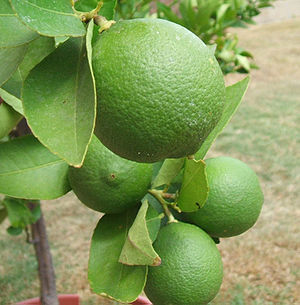 English: Unripened key limes growing in a back...