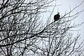 Bald eagle in tree - Flickr - brewbooks.jpg