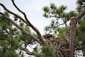 Bald eagle pair in nest.jpg