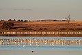 Banded Stilts and Red-necked Avocets (25568320515).jpg