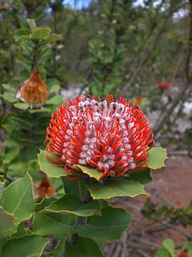 Banksia coccinea - Little Grove 3.jpg