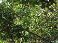 Banyan tree fruit 02.JPG