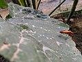 "Bapak Pucung ""Red Cotton Bug"".jpg"