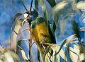 Barnardius zonarius -Northern Territory -Australia-6.jpg
