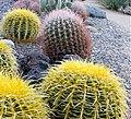 Barrel cactus (6556804667).jpg