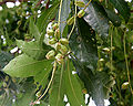 Barringtonia acutangula (Freshwater Mangrove) fruits in Kolkata W IMG 8545.jpg