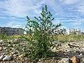 Bassia scoparia subsp. densiflora sl41.jpg