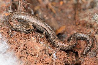 Gregarious slender salamander - Image: Batrachoseps gregarius