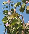 Bauhinia variegata - Fruit.jpg