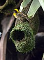 Baya Weaver Ploceus philippinus male Breeding plumage by Dr. Raju Kasambe DSC 5420 (29).jpg