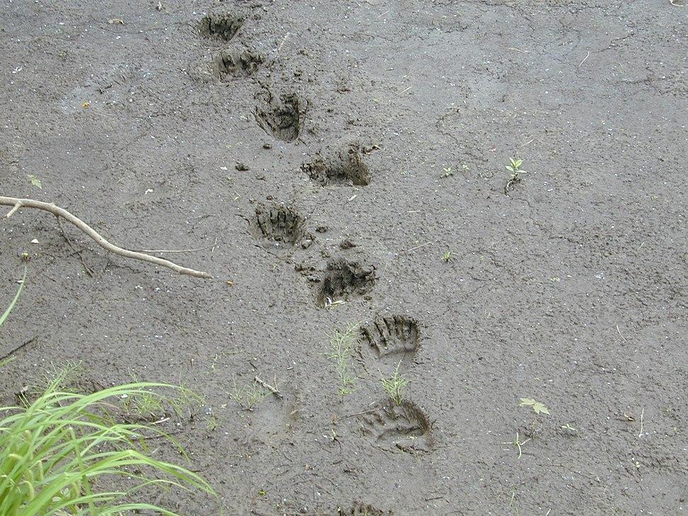 Bear tracks (5062843250)