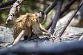 Bearded capuchin monkey (Cebus libidinosus).jpg