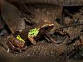Beautiful Mantella (Mantella pulchra), Vohimana reserve, Madagascar (12162277293).jpg
