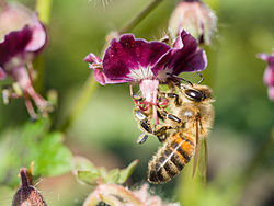 Bee gathering nectar.jpg