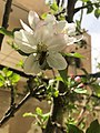 Bee on Apple Flower.jpg