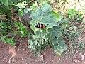 Beetle-42-yercaud-salem-India.jpg