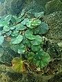 Begonia hydrocotylifolia 2019-04-16 0898.jpg