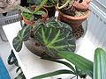 Begonia soli-mutata (20354845948).jpg