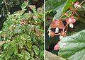 Begonia sp. (17034006547).jpg