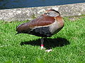 Bellied Whistling-Duck 1.jpg