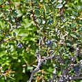 Berberis microphylla-CTJ-IMG 7209.jpg