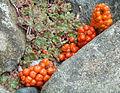 Berries of a Arum sp. - Vancouver, Canada.jpg