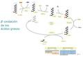 Beta Oxidación Ácidos Grasos.pdf