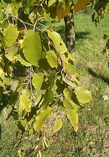 <i>Betula lenta</i> Species of plant