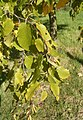 Betula lenta subsps lenta 01-10-2005 14.53.56.JPG