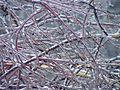Betula pendula20101228 12.jpg