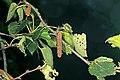 Betula pendula (36405303682).jpg