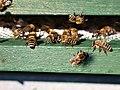 Bienen am Bienenstock2.jpg