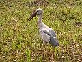 Bird Asian Openbill IMG 4790.jpg