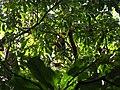 Bird Great Hornbill Buceros bicornis IMG 8659 29.jpg