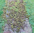 Bird feeding activity amongst moss, Kilmaurs, East Ayrshire.jpg