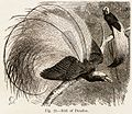 Bird of Paradise from Animal Coloration by Frank Evers Beddard 1892.jpg