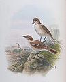 BirdsAsiaJohnGoVGoul 0260 cleaned.jpg