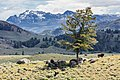 Bison and tree with Cutoff Mountain (35704304366).jpg