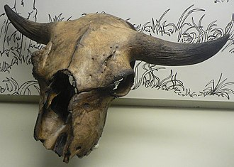 Biochronology - Skull of Bison antiquus from the La Brea Tar Pits.
