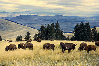 American bison - Bison herd grazing at the National Bison Range in Montana